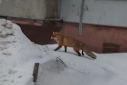 Дикую лису заметили в казанских дворах