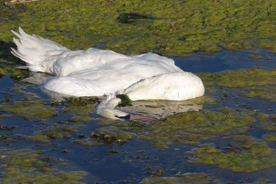 Очередная смерть лебедя на казанском озере
