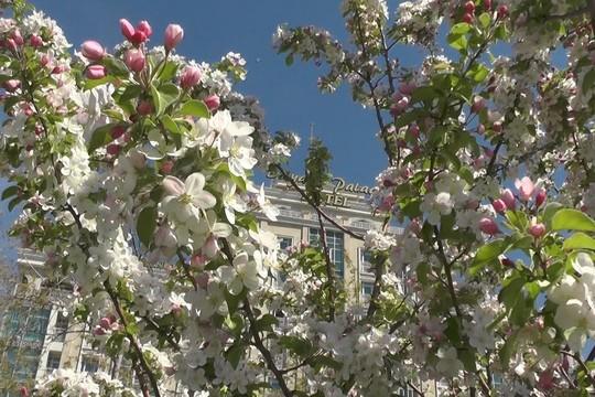 В Казани посадили 25 деревьев сакуры