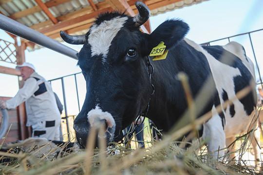 «ВТатарстане можно ичерез пенделя внедрять»: как Россельхознадзор воюет сантибиотиками