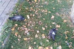 В одном из парков Казани стали массово умирать голуби