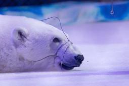 National Geographic рассказал о страданиях белых медведей в Казанском цирке