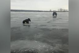 «Такую операцию провернули!»: в Татарстане спасли провалившегося под лед лося
