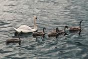 Лебеди озера Кабан впервые показали свое потомство