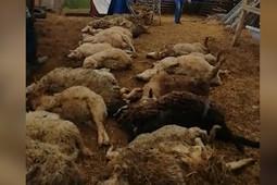 «Задушил – откинул»: в Менделеевском районе волки загрызли 26 овец