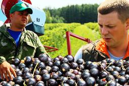 Миллионы на ягодах. Как заработать на смородиновых плантациях?