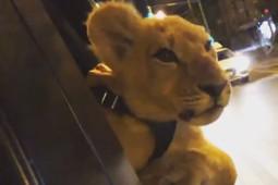 В Казани кальянная проводит платные фотосессии с львицей