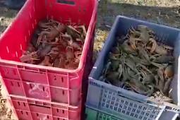 В Татарстане браконьеры выловили 25 тыс. раков