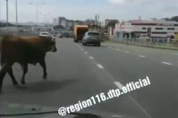 На Мамадышском тракте в Казани заметили бегающего по дороге быка