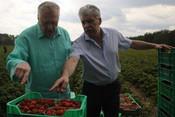 «Уже созрела»: Грудинин и Жириновский приняли участие в ежегодном сборе клубники
