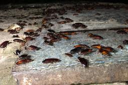 Тысячи тараканов выползают ночью на улицы Казани
