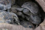 Полиция пресекла контрабанду 4 тыс. краснокнижных черепах