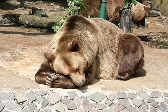 Медведи будут внесены всписок стратегически важных ресурсов РФ