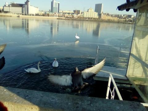 Казанские cотрудники экстренных служб помогли лебедям наозере Кабан