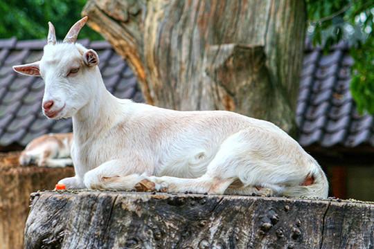 ВКазани выберут «козу-предсказателя» ЧМ
