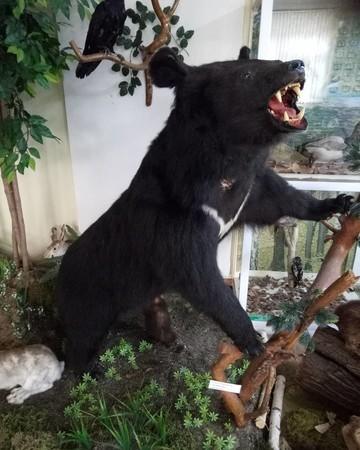 В историко-краеведческом музее Челнов появился новый экспонат – чучело гималайского медведя