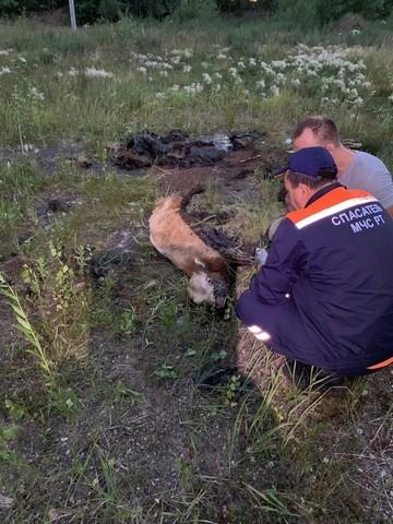 Рядом с Челнами сотрудники МЧС спасли теленка, провалившегося в яму с битумом