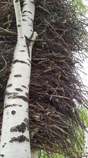 В Закамье обнаружено двухметровое гнездо солнечных орлов