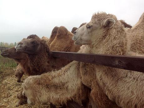 Смотреть член верблюда