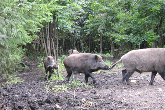 По периметру республики, а также вокруг крупных свиноводческих комплексов есть буферные зоны шириной 20 км, где кабанов не подкармливают. Это позволяет сдерживать их миграцию из соседних регионов