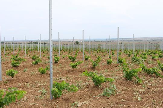 Свою деятельность «Жемчужина» сконцентрировала в поселке Табачное, где у компании остаются 2 тыс. га земли. На данный момент там уже посажено 400 га новых виноградников, в 2020 году планируется посадить еще на площади 300 га