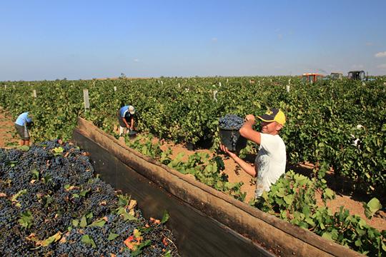 Один из татарстанских инвесторов, развивающих виноградный бизнес в Крыму, отдал государству 1 из 3,5 тыс. га земли, выделенных ему в аренду на 49 лет