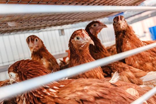 «Когда я работал министром сельского хозяйства РТ, мы получали от курицы привес в 16-18 граммов в день. А сегодня — 70 граммов! Гормон, антибиотик и еще чего только нет»