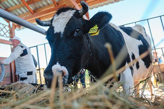 «Больше всего — свыше 300 тонн молоко за сутки — надаивает Кукморский район. Ему даже дали орден за молоко»