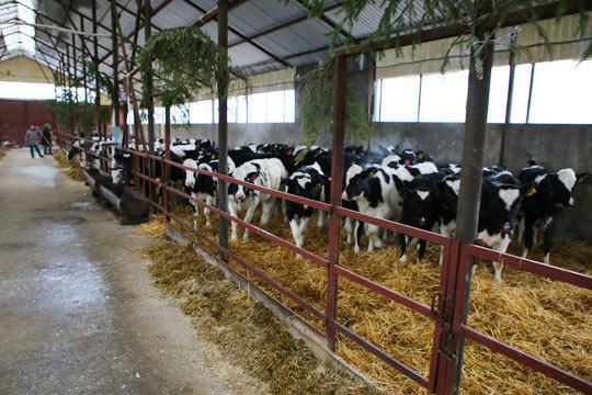 «Молочное производство (сельскохозяйственное предприятие АО им. Токарликова) у нас работает, ежедневно доим 20 с лишним тонн молока»