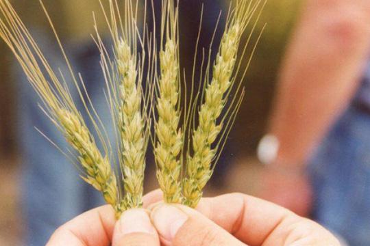 В новом сезоне юг России несколько снизит объемы произведенного зерна — это связано с погодными условиями — одни районы пострадали от засухи, другие — от переувлажнения
