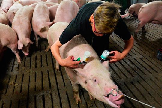 Количество выявленных вСамарской области случаев заражения свиней АЧС само посебе некатастрофично, ноблизость крайонам РТтребует принятия специальных мер