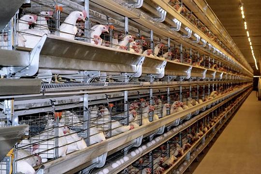Нужно отметить, что птицеводство насегодняшний день— это высокотехнологичное производство сбольшой долей автоматизированных процессов, своевременное внедрение которых является одним изфакторов успеха