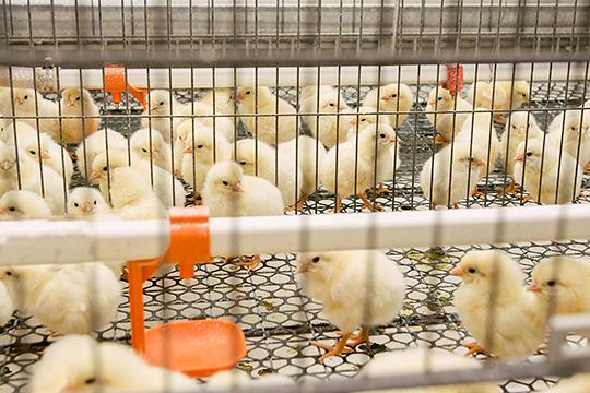 Мынекормим птицу кормами животного происхождения, только растительными и высокого качества