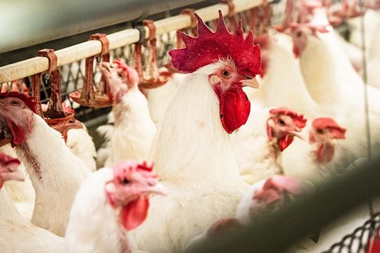 Действительно, когда-то курица «Пестречинка» была мелкой. Ноинвестиции были вложены незря: сегодня технология производства такова, что средний вес нашего цыпленка бройлера наприлавке составляет 1,7-1,8 килограмм
