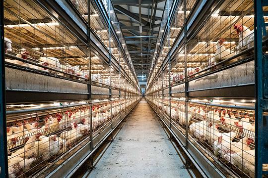 Ветеринарные требования сегодня очень жесткие, иони требуют затрат. Нобез этого невозможны промышленные масштабы птицеводства