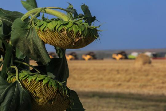 Экономика тут такая: средние затраты на 1 га пашни в Татарстане составляют 20-22 тыс. рублей. Если компания имеет урожай 4 тонны (40 центнеров) с га, то она сможет получить выручку в 36 тыс. рублей в каждого гектара