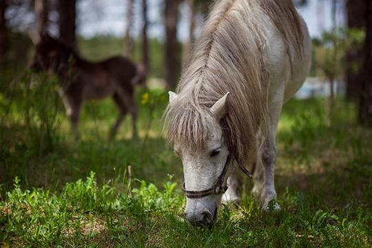 Сегодня набалансе «Тулпара» находятся 101 лошадь (втом числе ижеребята), 12 пони, 10 коз, девять пятнистых оленей, шесть верблюдов, львица, осел, страус иорел-могильник