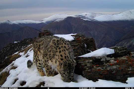 «Барсу нужны горы, этоже горная кошка, которая может только нагорах обитать»