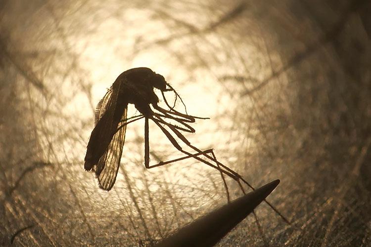Самый опасный вид малярии — тропическая. Смертность в этом случае достигает 98%