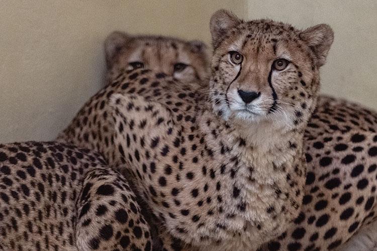 «Гепарды приехали из зоопарка французского Монпелье»