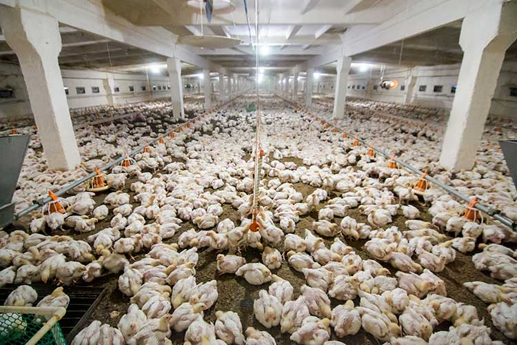 «По предприятиям яично-мясного направления селекция ведется. В частности, отечественные предприятия поставляют нам в республику яичную птицу — из Екатеринбурга, Можайска»