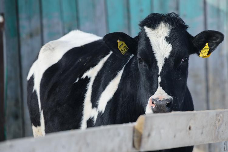 «При помощи чипизации унас получается отследить животное отрождения дообеденного стола— можно узнать, накакой ферме росла корова, что она ела, чем болела, накакой мясокомбинат потом пошла туша итак далее»