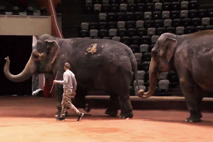 Скандальные индийские слонихи Магда иДженниуже наследующей неделе покинут столицуРТ