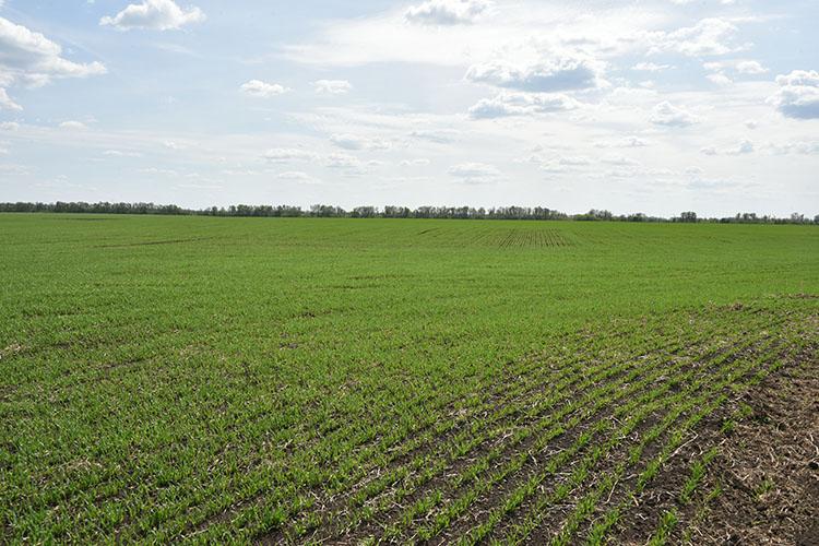 Защитой отгибели зерновых культур моглобы стать агрострахование, которым аграрии республики вРТпока пользуются нестоль широко