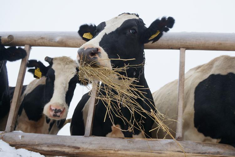 «Мынаоборот сократили своё поголовье засчёт продажи молочных активов вЧерноземье»