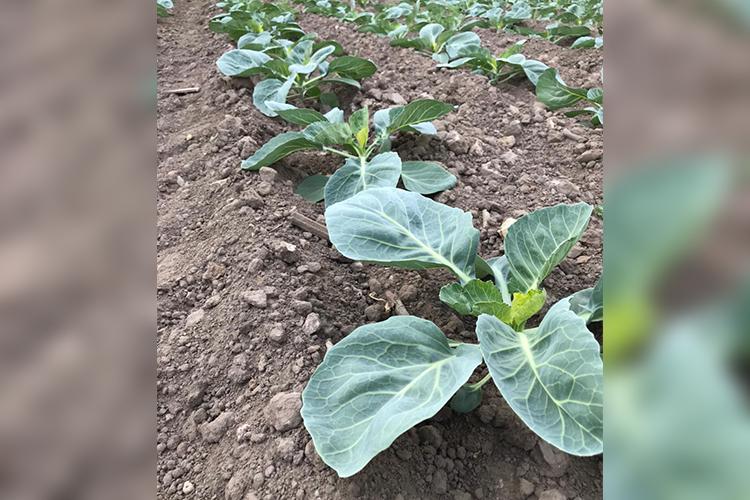 Натерритории комбината наплощади 2,5 гавысажены сельхозкультуры— большая часть капуста, атакже морковь исвекла, анаихполив используется очищенная вода