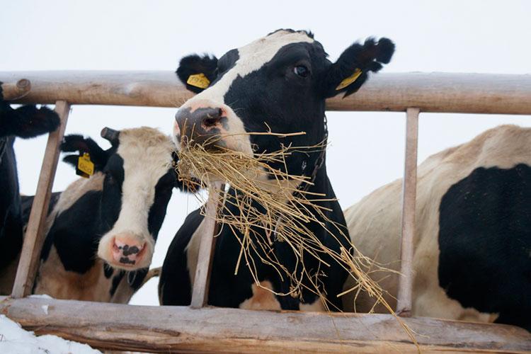 «Если втечение месяца что-то несделаем для того, чтобы преодолеть эти явления, тозимой чем будем кормить скот?»
