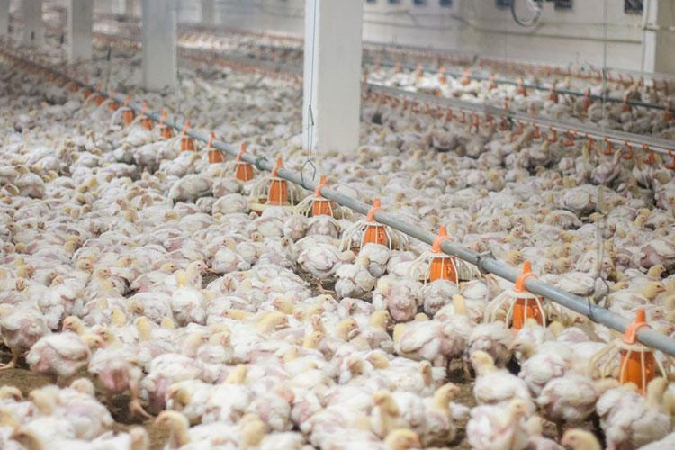 «Птицы вгод съедают очень много дорогого корма, ипочти вдва раза выросли нанего цены»