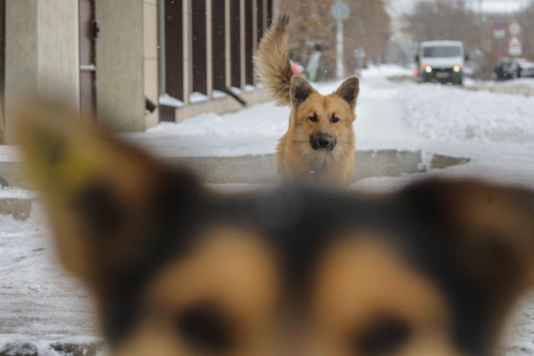 ВТатарстане фиксируют рост случаев нападений бездомных собак.Проблемой обеспокоились вОбщественной палате Татарстана, где впрошлую пятницу прошел «круглый стол» ореализации ФЗ«Обответственном обращении сживотными», принятого еще в2018году