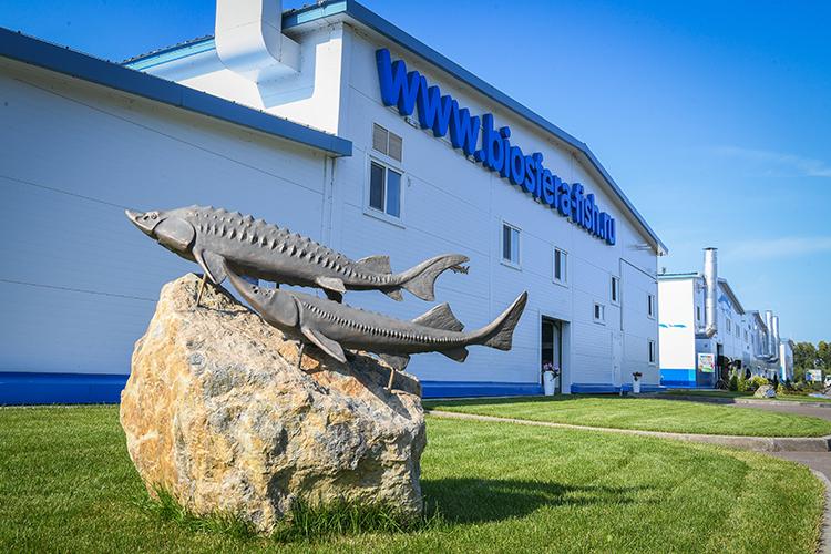 «Биосфера-Фиш» вЛаишевском районе сучетом нового форелевого комплекса вперспективе может вырваться напервые позиции. Комплекс изначально был рассчитан напроизводство малька стерляди. Первая очередь завода былазапущенав2018 году, вторая— вавгусте 2020-го